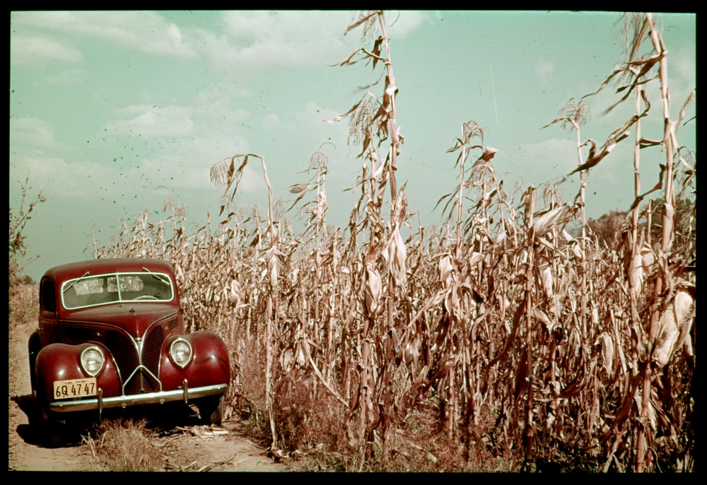 Tall corn in the Wabash bottoms. Grand Chain farm, Posey County. Early November (Charles W. Cushman Photograph Collection - Indiana University Archives / Digital Library Program ).
