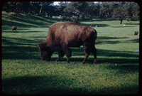 Bison in Golden Gate Park